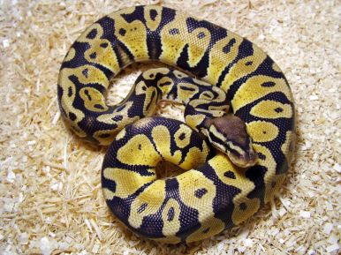 800px-python_regius_pastel.jpg